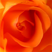 Orange roses, long stem florist orange roses now available at wholesale basis for your florist