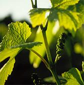 Viticoltura italia vini italiani viticoltura vini doc for Mobilifici italiani elenco fabbriche mobili in italia